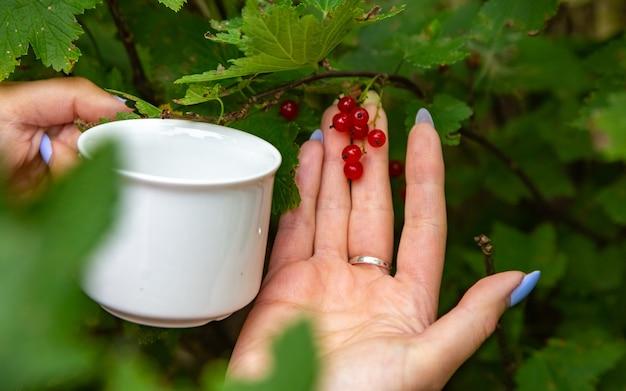 Женщина-агроном собирает красную смородину, ribes rubrum, с куста красной смородины крупным планом, безликий. концепция сбора урожая