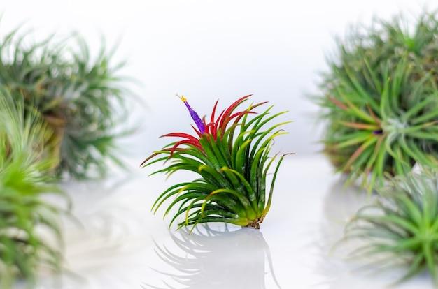 Воздушное растение - тилландсия с цветком на белом фоне.