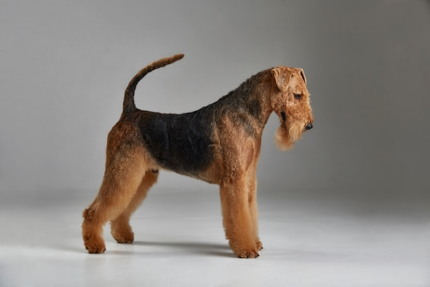 Airedale terrier in profile