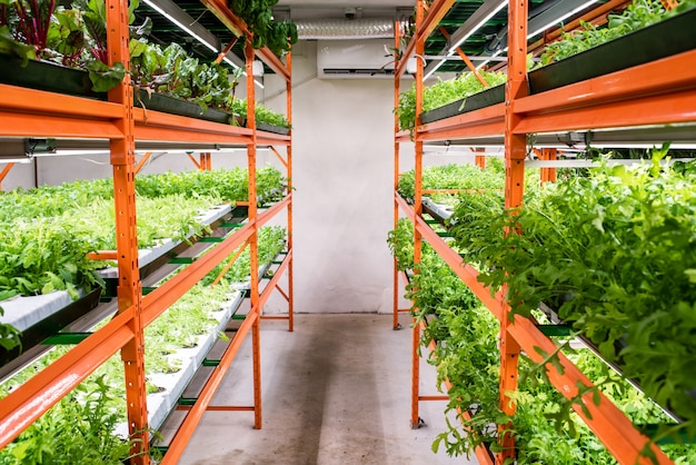 Aisle between large shelves with green seedlings of horticultural plants growing in greenhouse