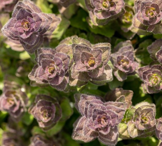 ピラミッド型ラッパ-ajuga pyramidalis-上から見た野生の花