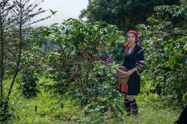 Akha hill picking arabica coffee berries at plantation, chiang rai thailand