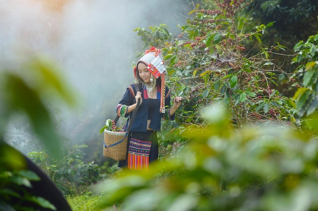 Akha woman picking red coffee beans on bouquet on tree arabica coffee berries on its branch,thailand.
