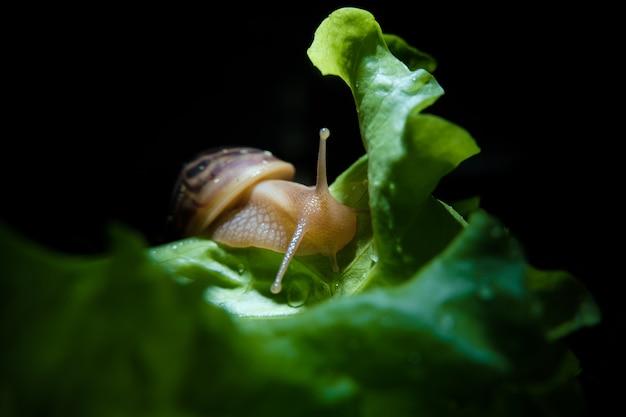 Улитка ахатина ползает по листу зеленого салата.