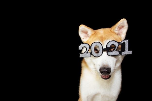Собака акита празднует с новым годом в костюме очков знака 2021. изолированные на черном пространстве.