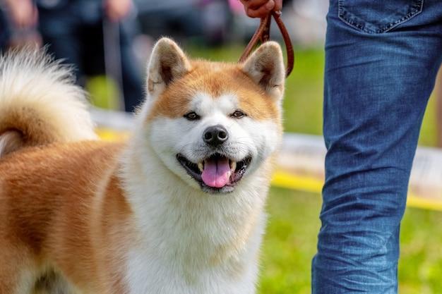 Собака акита возле своего хозяина во время прогулки. мужчина в джинсах с собакой в парке
