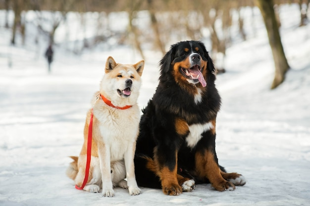 Akita-inu dog and bernese mountain dog sit side by side in a winter park