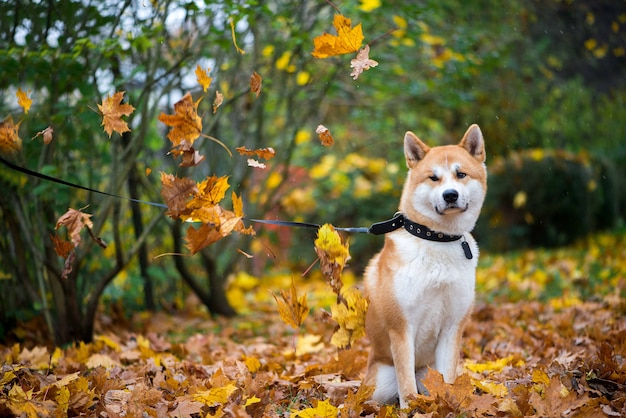 Akita inu dog in sitting in autumn leaves park