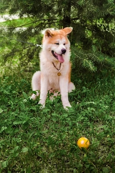 Akita inu dog sitting happy in green forest with small yellow ball.