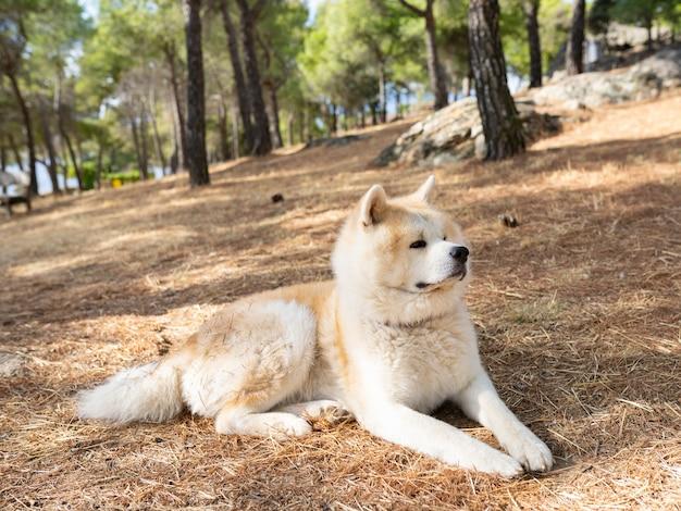 森に座っている秋田犬