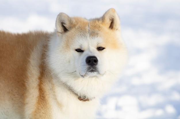 Akita inu dog in the snow with piercing gaze
