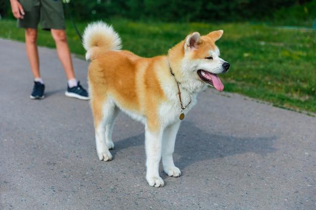 Акита ину собака стоит на серой асфальтовой дороге