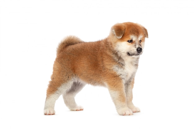 Akita inu puppy dog on white background