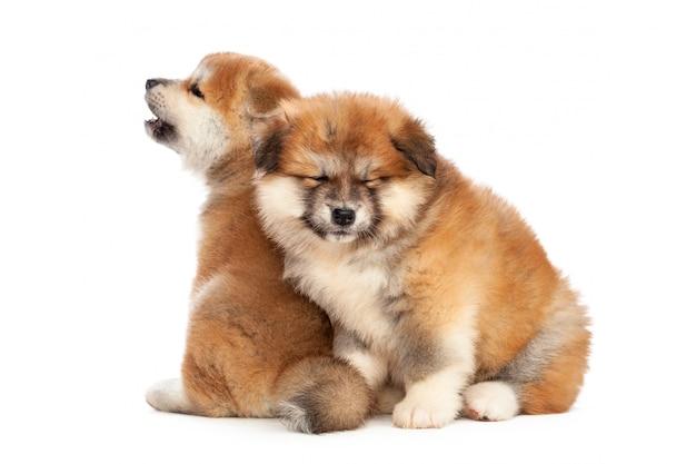 Akita inu puppy dog on white