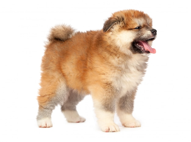 Akita inu puppy dog on white