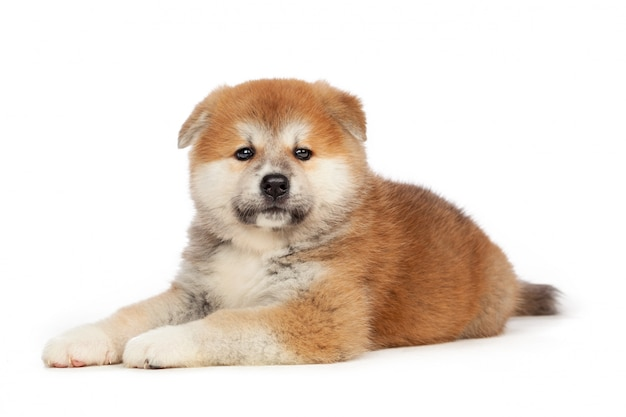 Akita inu puppy dog