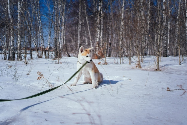 秋田犬の子犬が雪の中で緑のひもをかじる