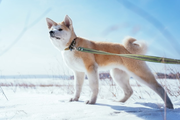 Akita inu puppy with a green leash in a snowy field looking into the distance