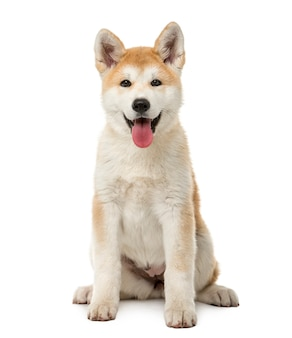 Akita inu sitting in front of a white wall
