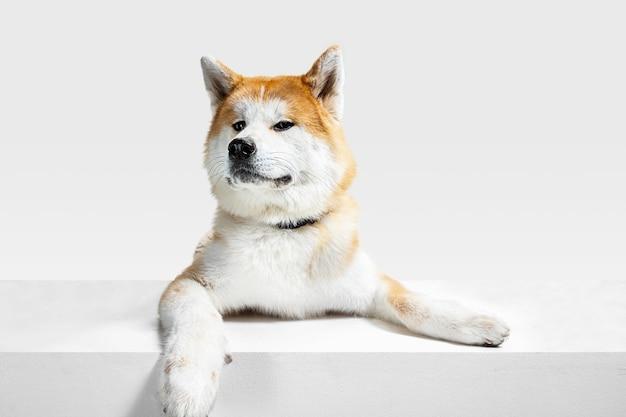 Il giovane cane akita-inu è in posa. il cagnolino o l'animale domestico sveglio bianco-braun sta mentendo e sembra felice isolato su priorità bassa bianca. servizio fotografico in studio. spazio negativo per inserire il testo o l'immagine. vista frontale.