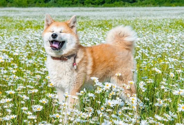 秋田-緑の野原のカモミールとデイジー畑に立っている若い犬。外で遊ぶ犬の笑顔
