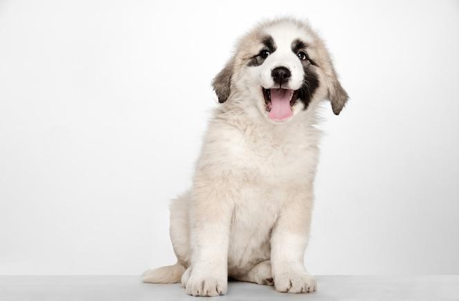 Alabai-중앙 아시아 양치기 강아지 서. 흰 벽에 초상화입니다. 젊고 예쁜 강아지, 애완 동물 사랑 개념.