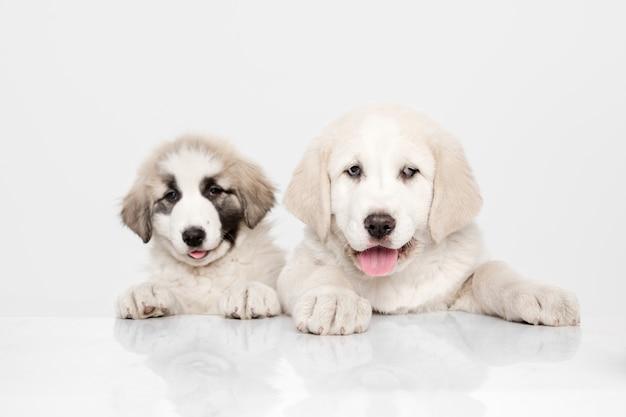 アラバイ-中央アジアの羊飼いの子犬が立っています。白い壁の肖像画。若くてかわいい子犬、ペットはコンセプトが大好きです。