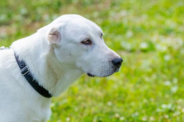 アラバイ犬、晴れた日には犬の肖像画が横顔にクローズアップ