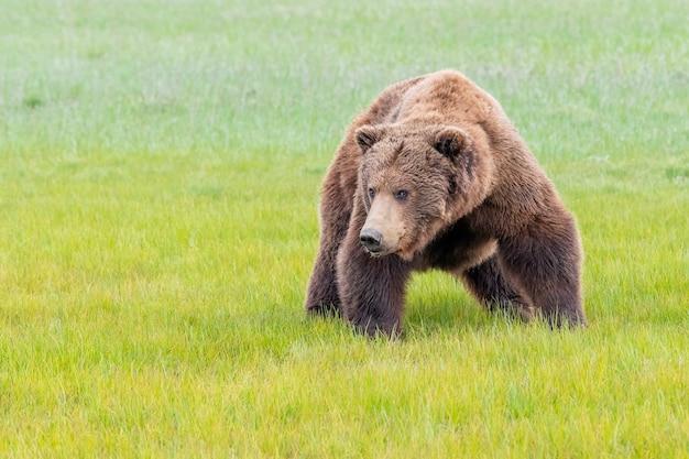 Бурый медведь на полуострове аляска или прибрежный бурый медведь