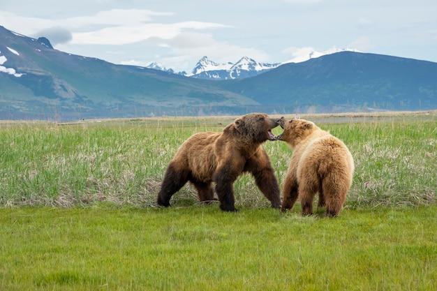 Брачный ритуал бурых медведей на полуострове аляска