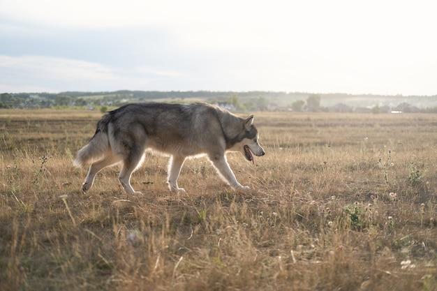 Прогулка собаки аляскинского маламута на летнем поле.