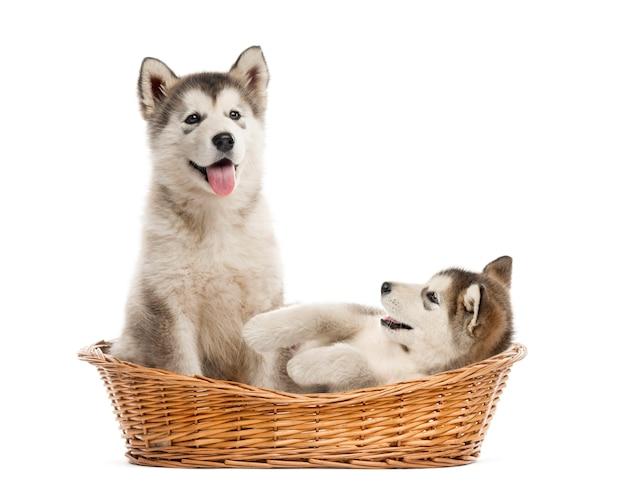 白で隔離のバスケットに座っているアラスカンマラミュートの子犬