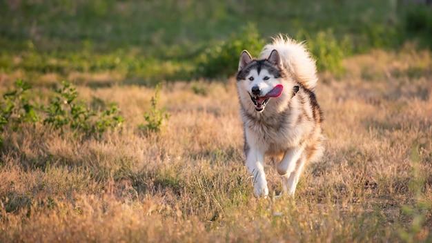Аляскинский маламут бежит по полю