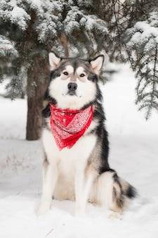 Аляскинский маламут сидит в красном шарфе. зимний лес собаки