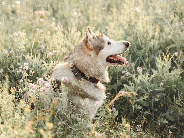 높은 여름 잔디에 옆으로 앉아 알래스카 에스키모