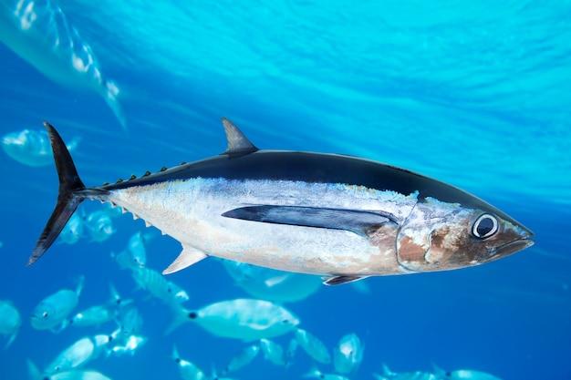 Albacore tuna fish thunnus alalunga