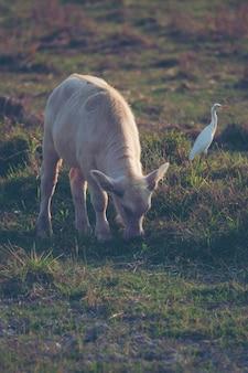 Albino buffalo, asian water buffalo in paddy field