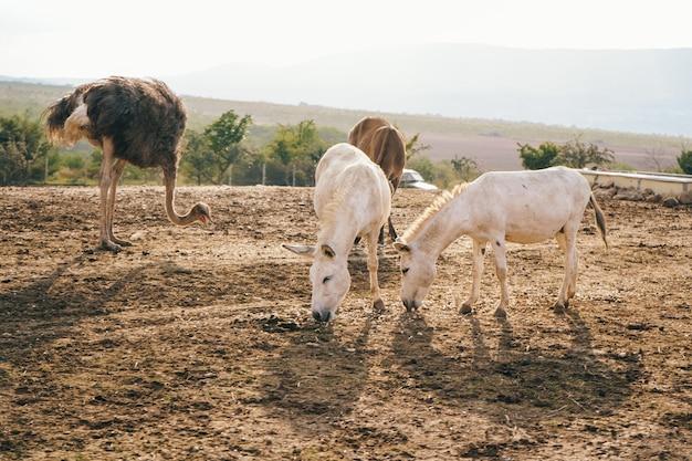 生態学的な農場でアルビノロバ。ロバは食べ物を食べる。動物と牧場