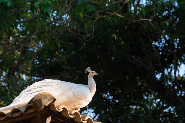 흰둥이 공작, 깃털과 자연의 모든 세부 사항을 자랑하는 아름다운 흰둥이 공작. 자연광, 선택적 초점.