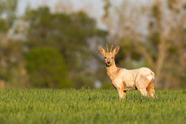 Косуля-альбинос, стоящая на лугах в весеннем солнце