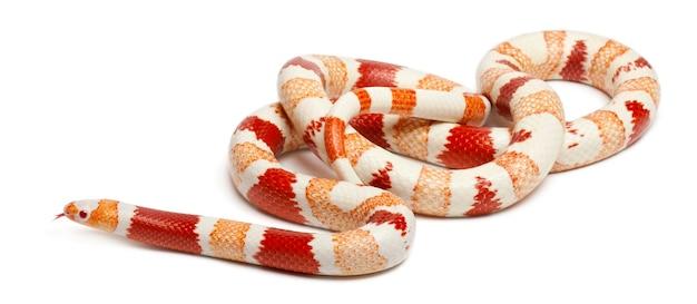 Гондурасская молочная змея-альбинос, lampropeltis triangulum hondurensis, на белом фоне