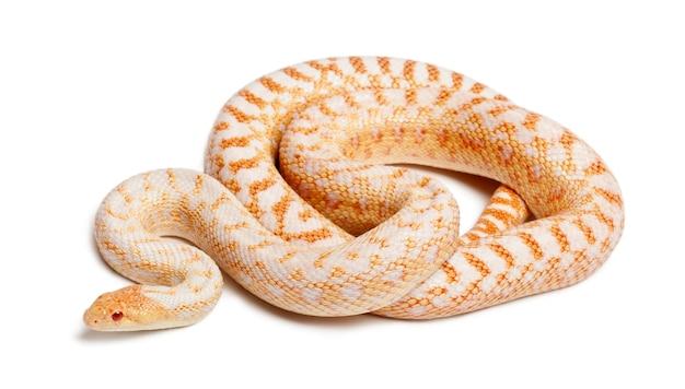 Albinos 태평양 고퍼 뱀 절연
