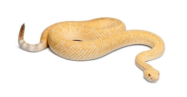Гремучая змея западная алмазная альбинос - crotalus atrox, ядовитая, на белом фоне