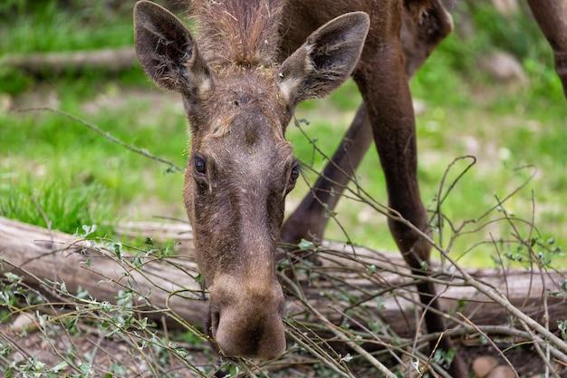 Alces alces female moose north america or elk eurasia feeding