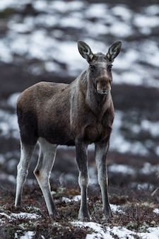 Лось или лось, alces alces, на довре в норвегии