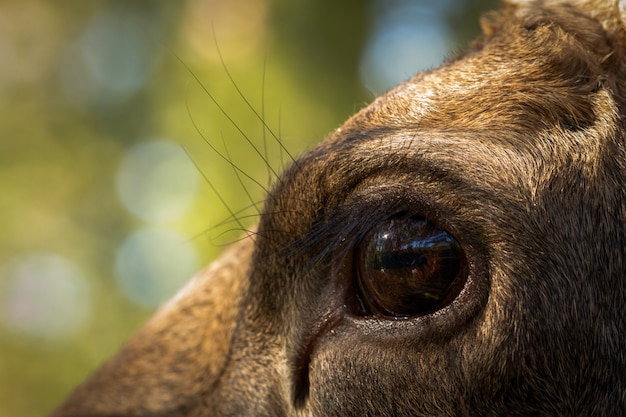 Лось или европейский лось alces alces женский глаз крупным планом