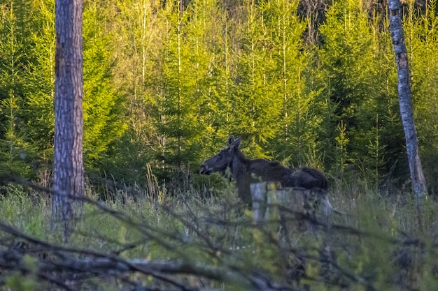 Alces moose walking on grass field