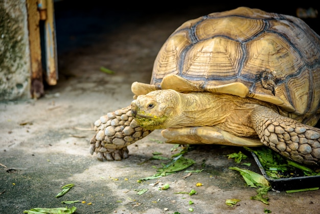 An aldabra giant tortoise chewing grass