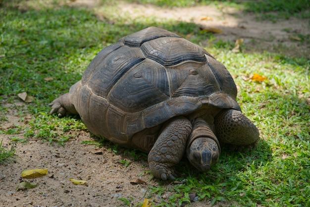 Гигантская черепаха альдабра ест траву