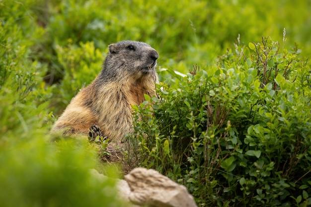 Alert alpine marmot sitting in rhododendron in summer